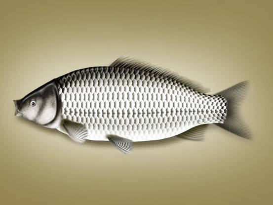 Photoshop鼠绘教程 绘制一条新鲜的鲫鱼