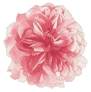 手绘花卉分层psd素材2水彩风格花卉 牡丹花