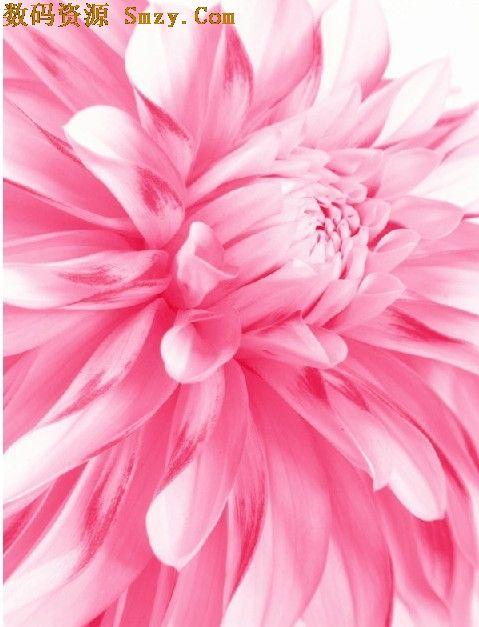 粉红色牡丹花特写高清图片