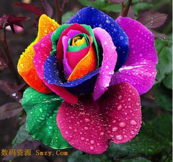 唯美七彩玫瑰花高清图片
