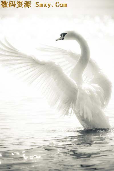 是我们熟悉的小动物,他长大后可以变成美丽的白天鹅