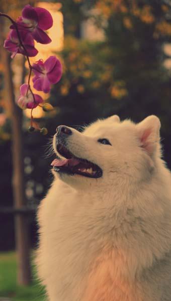 首页 资源下载 平面素材 精美图片 动物 > 萨摩耶小狗高清图片下载