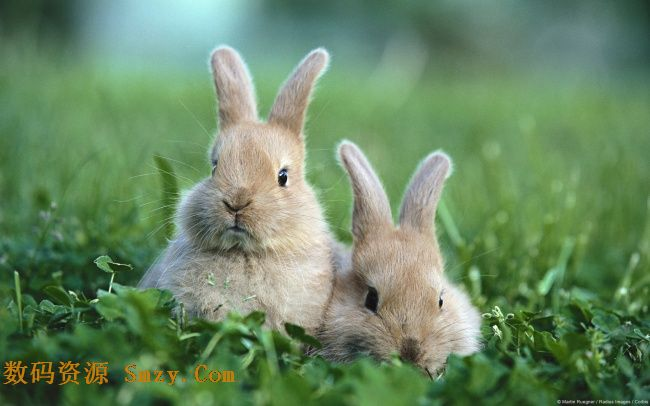 草地上的一对小灰兔高清图片下载