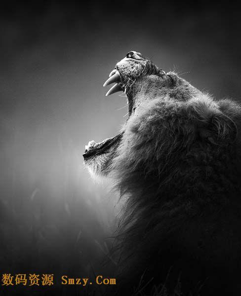 狮子仰天长啸黑白高清图片