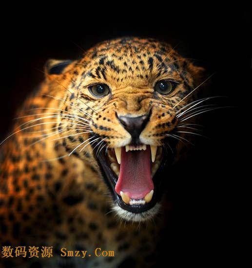 凶猛动物美洲豹嘶吼高清图片