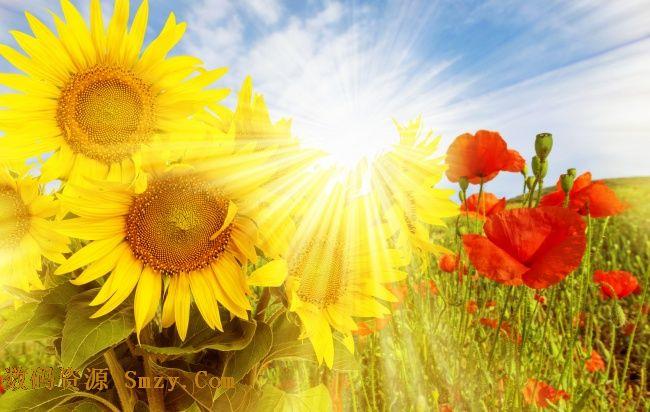 植物是生命的主要形态之一,花朵是植物最美丽的笑容,这张阳光蓝天下罂粟花向日葵花朵高清图片展示了不同样式的两种花朵,分别是向着太阳的向日葵花和妖艳红色罂粟花,截然不同的魅力都在素材中展示,详细还请见JPG缩略图,欢迎喜欢的朋友点击下载收藏!