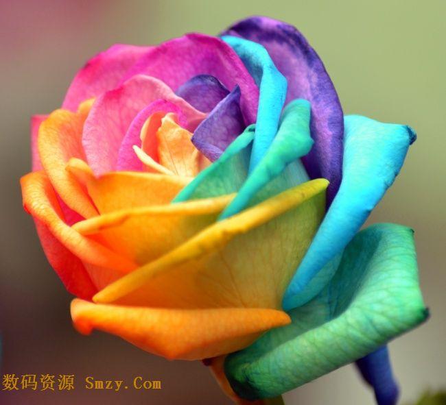 七彩艳丽盛开玫瑰花高清图片