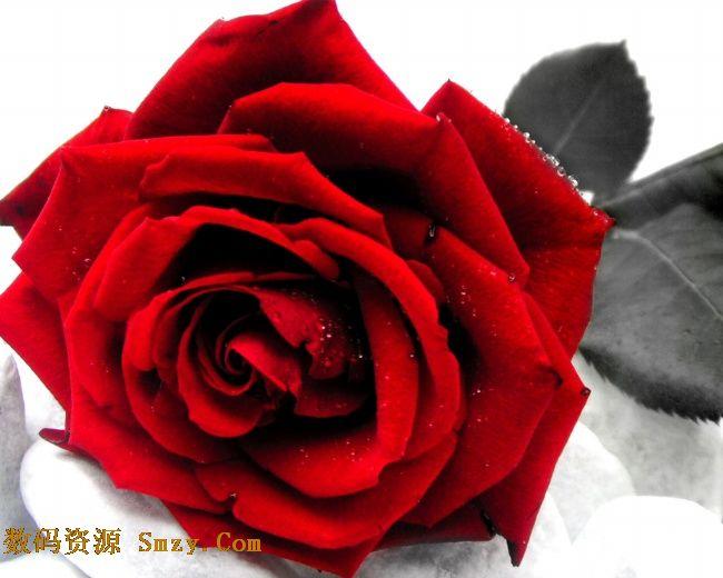 丽玫瑰花高清图片