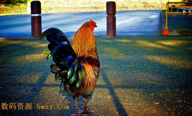 以食用为目的人工豢养的鸟类动物就是我们常说的家禽,公鸡是常见的一种,这也是个漂亮的物种,这张色彩艳丽的家禽公鸡高清图片展示的就是清晰的公鸡影像,红冠耀眼,尾巴艳丽,羽毛颜色搭配视觉效果很抢眼,更多见JPG缩略图所示,欢迎喜欢的朋友点击下载收藏!