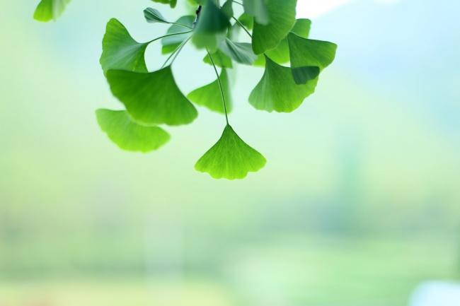 绿色银杏叶子高清图片