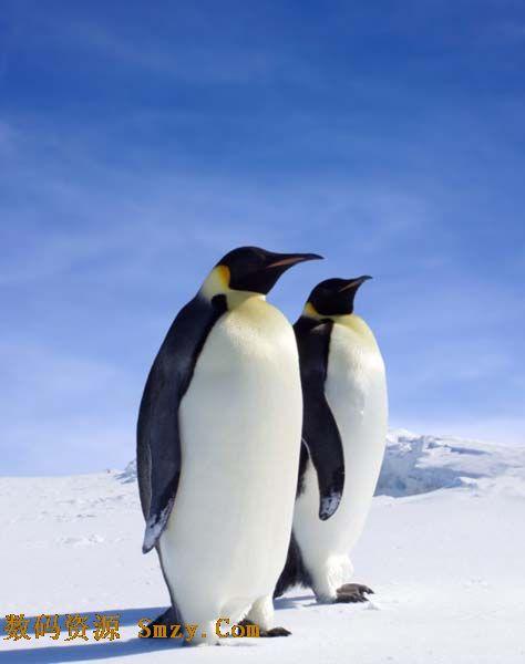 可爱动物之南极企鹅高清图片
