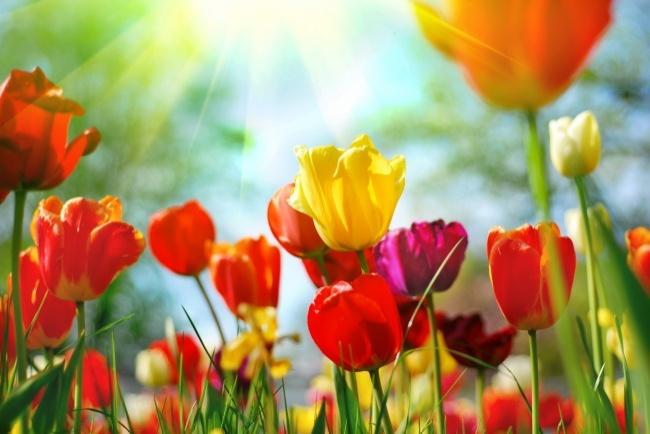 春天阳光下郁金香花朵高清图片