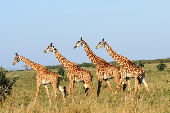 动物 > 一起朝着目标方向走去的长颈鹿图片下载  长颈鹿我们在动物园