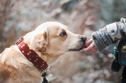 戴着项圈的拉布拉多犬摄影高清图片