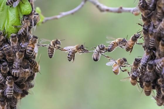 首页 资源下载 平面素材 精美图片 动物 > 团体协作精神的小蜜蜂摄影