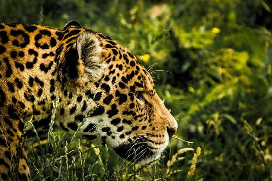 走在草丛中的豹子特写摄影高清图片