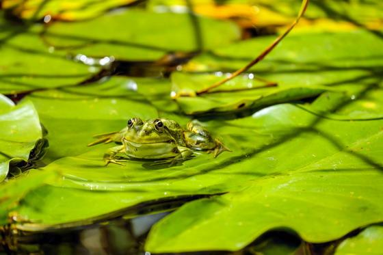 荷叶上伺机而动的青蛙摄影高清图片下载