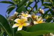 在绿叶衬托下的蛋黄花摄影高清图片