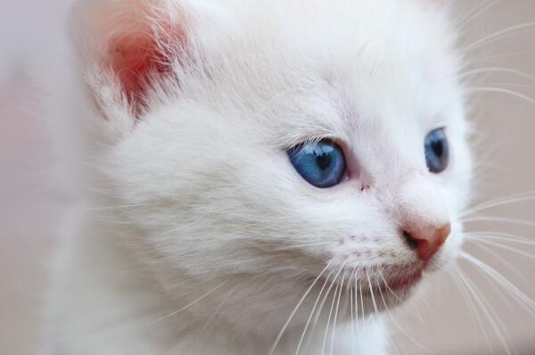 首页 资源下载 平面素材 精美图片 动物 > 纯白色可爱猫咪背景高清