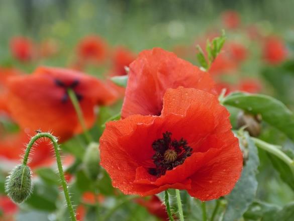 还在为植物做宣传怎么做而心烦呢?你见过这么漂亮的罂粟花吗?绽放的红色罂粟花精美大图中鲜艳的红色罂粟花显现在我们大家的面前,红色的花朵绽放在大地中,特别的灿烂,黑黑的花蕊正好衬托出花朵的美丽,还有的花儿正在盛开中,含包怒放等待着人们的观看,想了解更多内容,请收藏后使用。