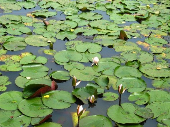 河塘睡莲叶高清图片下载图片