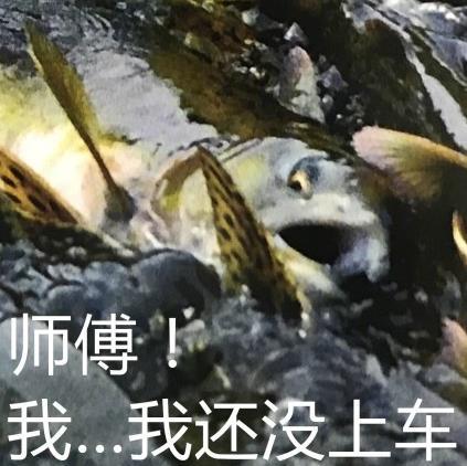大马哈鱼表情包最新版图片