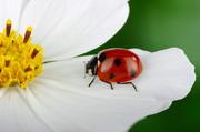 白色花朵上的瓢虫特写摄影高清图片