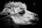一只黑暗场景中的骆驼摄影高清图片
