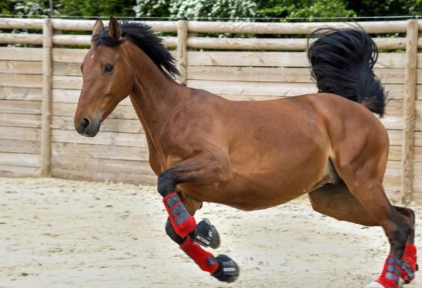 你肯定在电视中见过奔跑的马儿在驰骋着,你去过马场吗?奔跑的棕色马儿高清素材图片中的马儿在马场中高兴的飞舞着,红色的棕马是那样的可爱,俊俊的面容散发着慈祥的光辉,四肢在努力的前进着,面对前方的困难也是不畏缩的,也是预示着人类要不怕困难的一直努力向前冲。