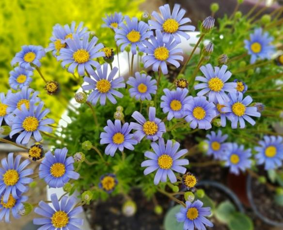 你见过蓝色的菊花吗?也是很漂亮的一道风景哦!小雏菊盆栽精美大图呈现的就是蓝色的花朵,许多的蓝色花朵聚集在一起形成一幅美丽的画面,绿色的枝叶正好和蓝色的花朵形成了对比,突出了花朵的鲜艳和枝叶的嫩绿,蓝色的花朵中间是黄色的花蕊,两种不同颜色的花朵结合在一起,显得那么迷人,植物的世界还有更多的惊喜等你来发掘。