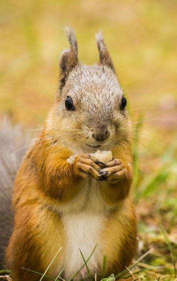 似乎怕被别的动物抢走它的食物似的,这么可爱的松鼠你不想和它玩耍一