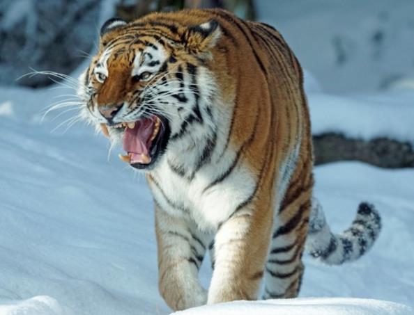 老虎嘶吼精美大图中的老虎露出锋利的牙齿在示威,是谁在欺负它呢!