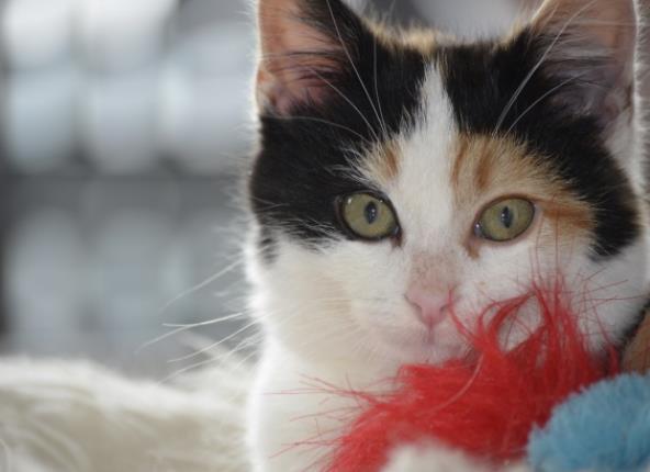 你正在寻找动物的精美图片吗?现在就为你提供最好的图片素材。呆萌小猫头部特写高清图片中是一只可爱的猫咪的头部特写,竖起来的耳朵在听着发生了什么事,圆圆的眼睛看起来是那么的亮,粉粉的鼻子真想上去摸一摸,肯定手感会特别的好,这么呆萌的小猫谁见了会不爱呢?