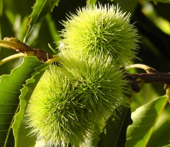 绿色的板栗好像一个绿色的小球似的,看着有点很可爱,成熟之后还是美味