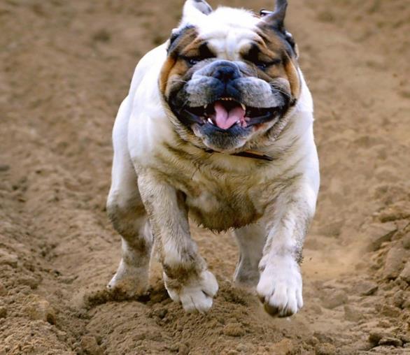 今天给大家介绍一个特别萌的动物吧!英国斗牛犬精美图片中的狗狗是不是特别的萌萌哒啊,微张着嘴巴,露出一点舌头,眼睛微微眯着,看着特别的可亲,似乎有点愤怒的在奔跑,是有专门的人在训练还是它就是这么的听话呢?详情在缩略图中能找到答案哦!让我们一起来和这么可爱的狗狗相处吧!