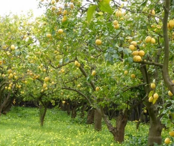 绿色的叶子和黄色的柠檬搭配的漂亮,粗壮的树干特别的宏伟,地面上绿