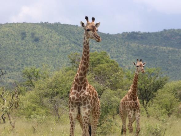 你需要动物的素材吗?野生长颈鹿精美大图展现了长颈鹿在望着一边,两只长颈鹿拥有着长长的脖颈,花色的皮肤非常的吸引人,还有绿色的植物看着感觉是有点枯萎了,长颈鹿是草食动物,也是陆生的动物,在非洲的地方是拥有很多的长颈鹿,需要这样的动物素材你们可以收藏哦!