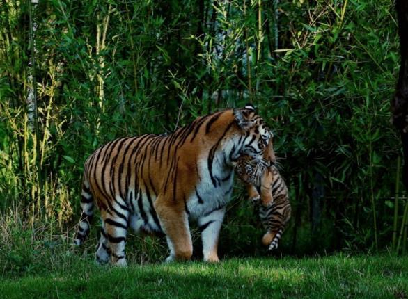 首页 资源下载 平面素材 精美图片 动物 > 野生老虎母子摄影高清图片