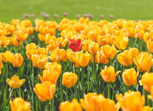 相信你们也没有见过这么漂亮的花海吧!郁金香花海精美图片中展现的都是黄色的郁金香,黄色的花朵正在绽放着自己的魅力,吸引着很多路过的行人,花朵密集的聚集在一起,已经看不清楚郁金香的叶子了,图中还有着朦胧的感觉,使人拥有无限的遐想空间,是不是很吸引你的眼球呢!喜欢的亲们缩略图在这里等你哦!