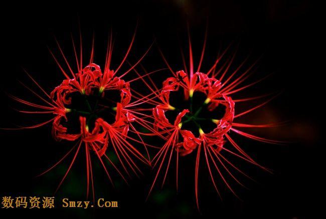 黑色背景红色花蕊高清图片 彼岸花素材